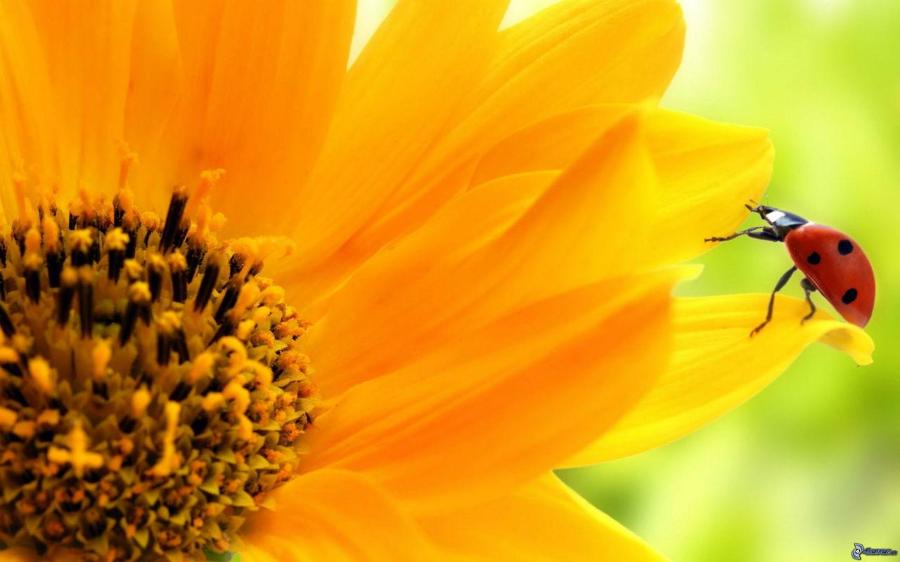 10 piante per attirare le coccinelle nel vostro giardino for Piantare girasoli