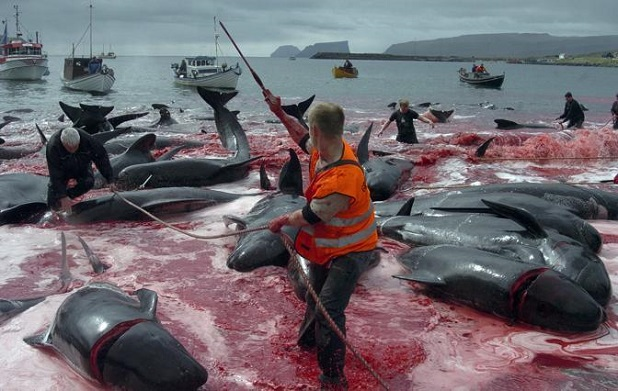 Inhabitants of Faroe Islands catch and slaughter pilot whales during the traditional 'Grindadrap' near Sandur on Sandoy island