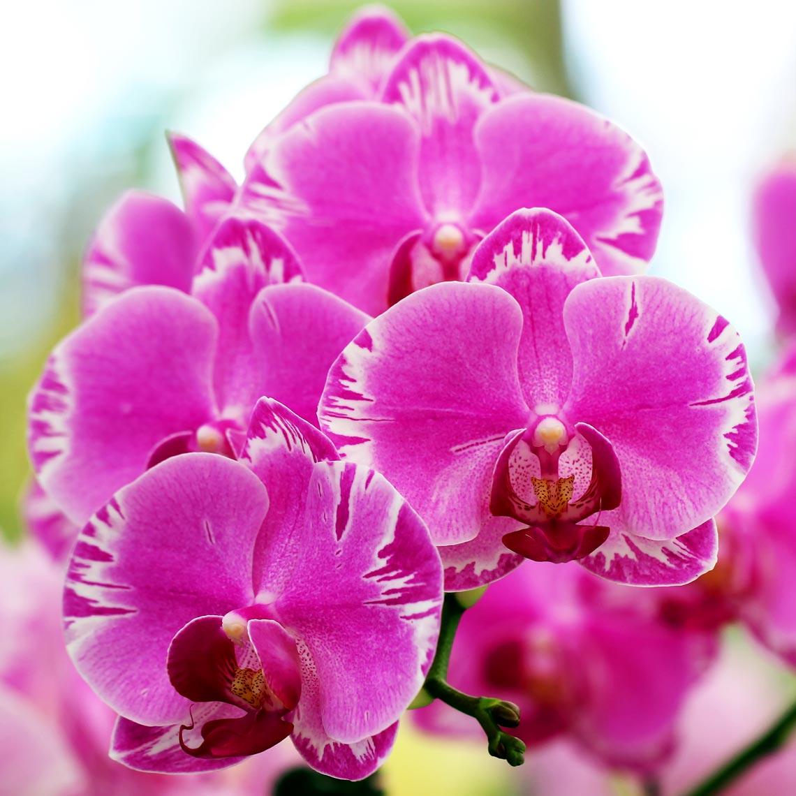 Orchidea miltonia cos 39 e come curarla lifegate for Radici orchidea