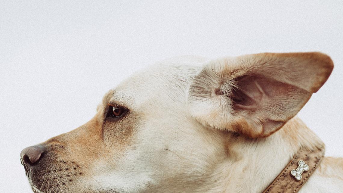 Cos 39 l 39 otoematoma e come affrontarlo nei cani con un metodo non invasivo lifegate - Bagno cane dopo antipulci ...