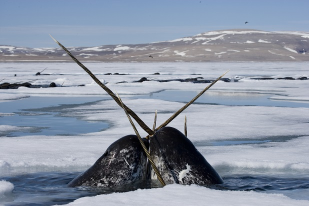 Two narwhal in Nunavut, Canada