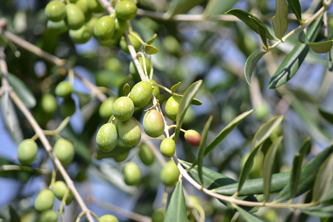polifenoli, olive
