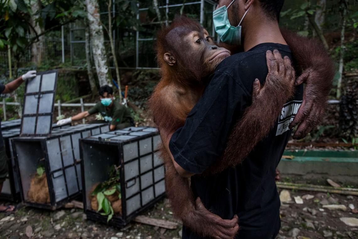 orango, deforestazione, indonesia, estinzione