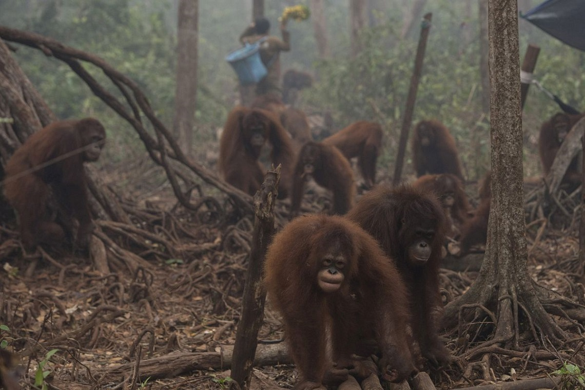 Orangutans walk as haze shrouds Borneo Orangutan Survival Foundation camp in Nyaru Menteng, Indonesia's Central Kalimantan province, October 5, 2015 in this photo taken by Antara Foto. Malaysian Prime Minister Najib Razak has called on Indonesia to take action against people setting fires that have caused choking smoke to drift across the region, with the sky over southern Thailand the latest to be clouded by the pollution. REUTERS/Rosa Panggabean/Antara Foto ATTENTION EDITORS - THIS IMAGE HAS BEEN SUPPLIED BY A THIRD PARTY. IT IS DISTRIBUTED, EXACTLY AS RECEIVED BY REUTERS, AS A SERVICE TO CLIENTS. FOR EDITORIAL USE ONLY. NOT FOR SALE FOR MARKETING OR ADVERTISING CAMPAIGNS. MANDATORY CREDIT. INDONESIA OUT. NO COMMERCIAL OR EDITORIAL SALES IN INDONESIA.      TPX IMAGES OF THE DAY
