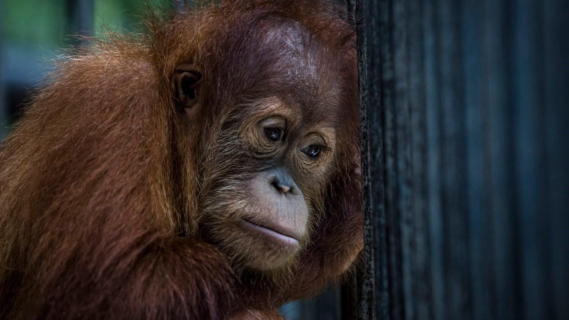 coronavirus orango pandemia avvertimento