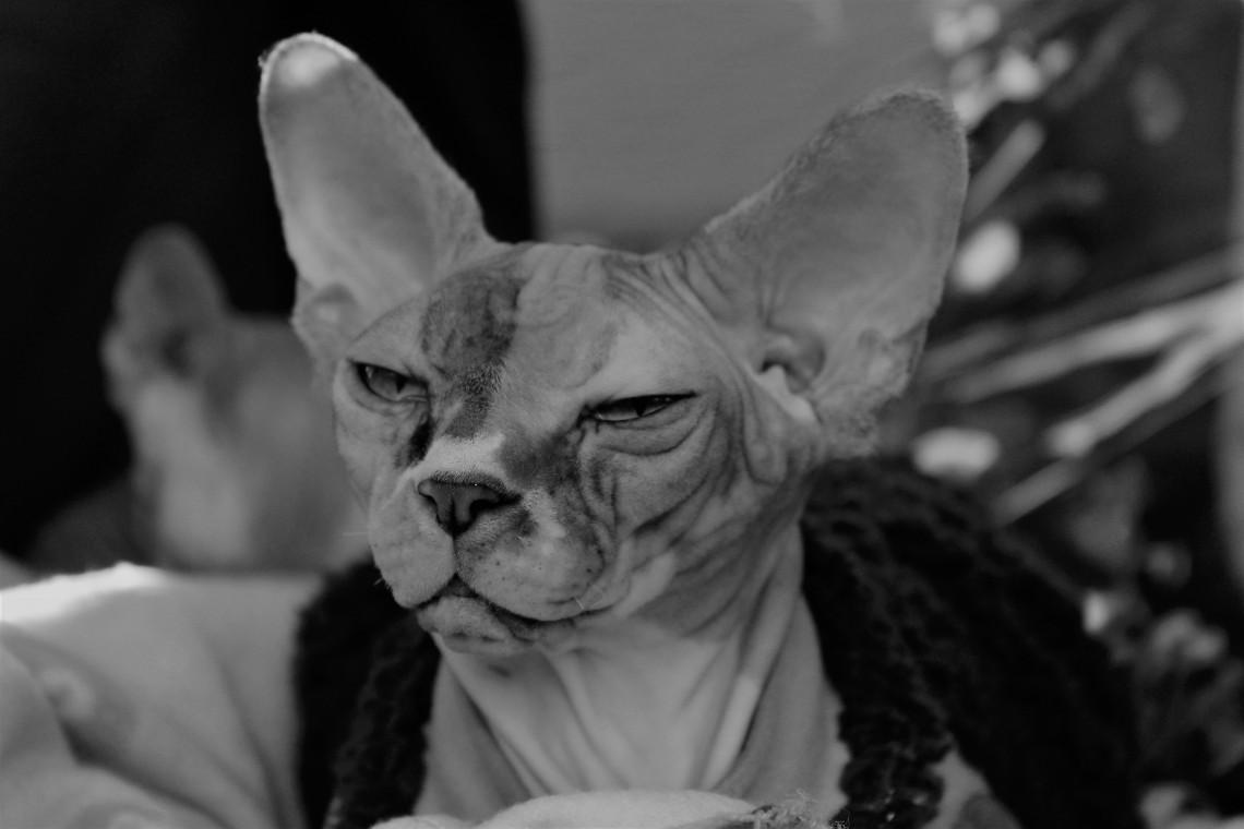 Canadian Sphynx Il Gatto Nudo Che Sta Conquistando Il Mondo Lifegate