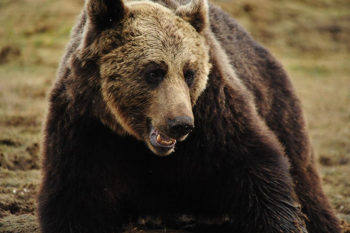 in trentino c un orso in meno hanno ucciso l orsa kj2