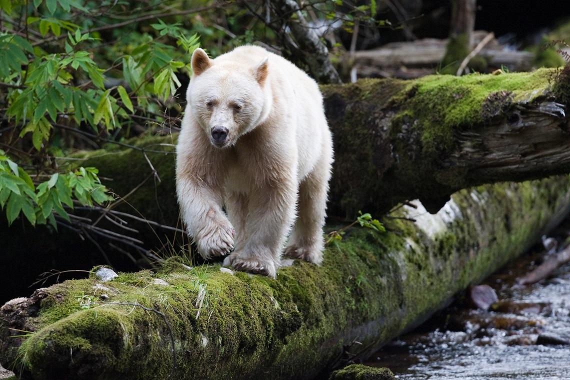 Grande orso una delle foreste pi antiche salva for Affittare una cabina grande orso