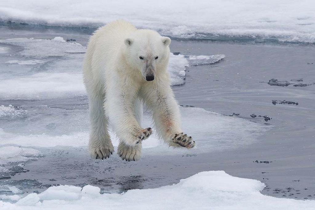 L agonia degli orsi polari racchiusa in una foto lifegate for Affittare una cabina grande orso