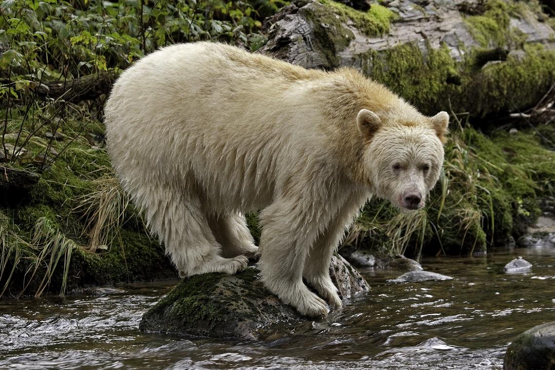 grande orso una delle foreste pi antiche salva