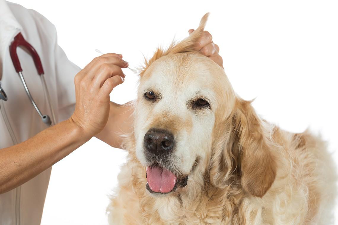 parassitismo del sangue nei cani