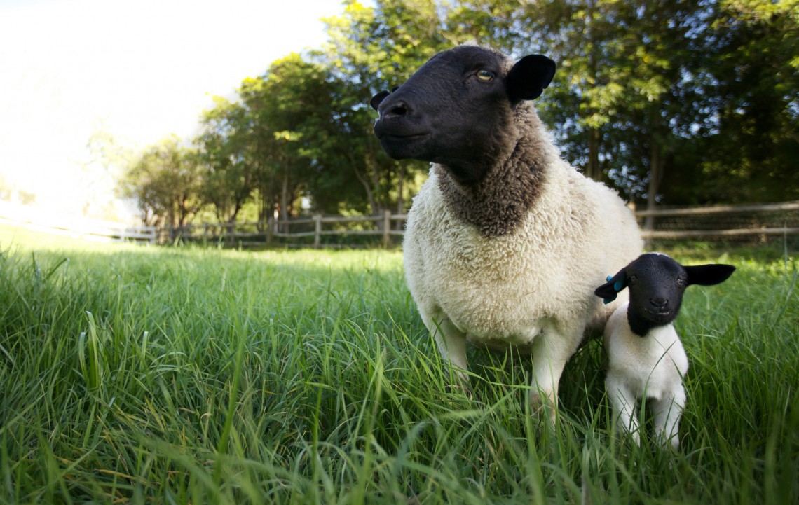 pecore apricot lane