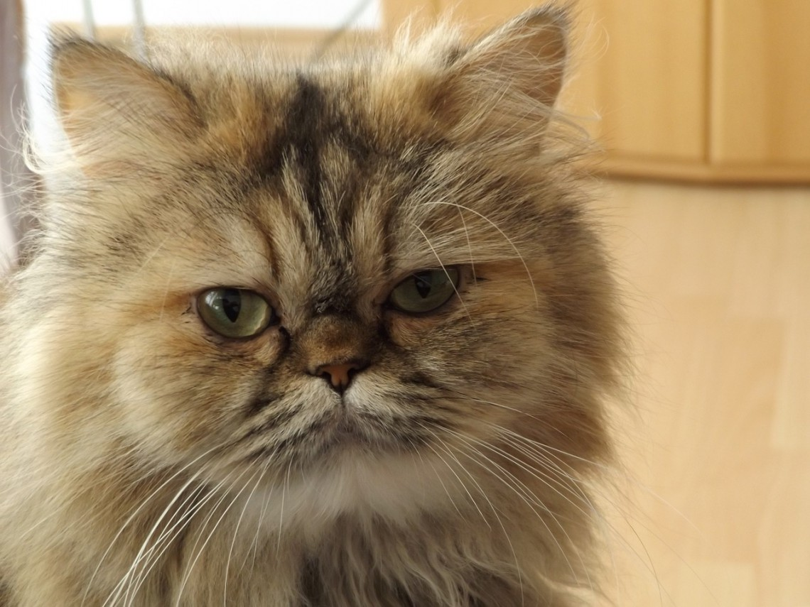 Il Gatto Persiano Un Principe Dal Carattere Affettuoso E Sedentario