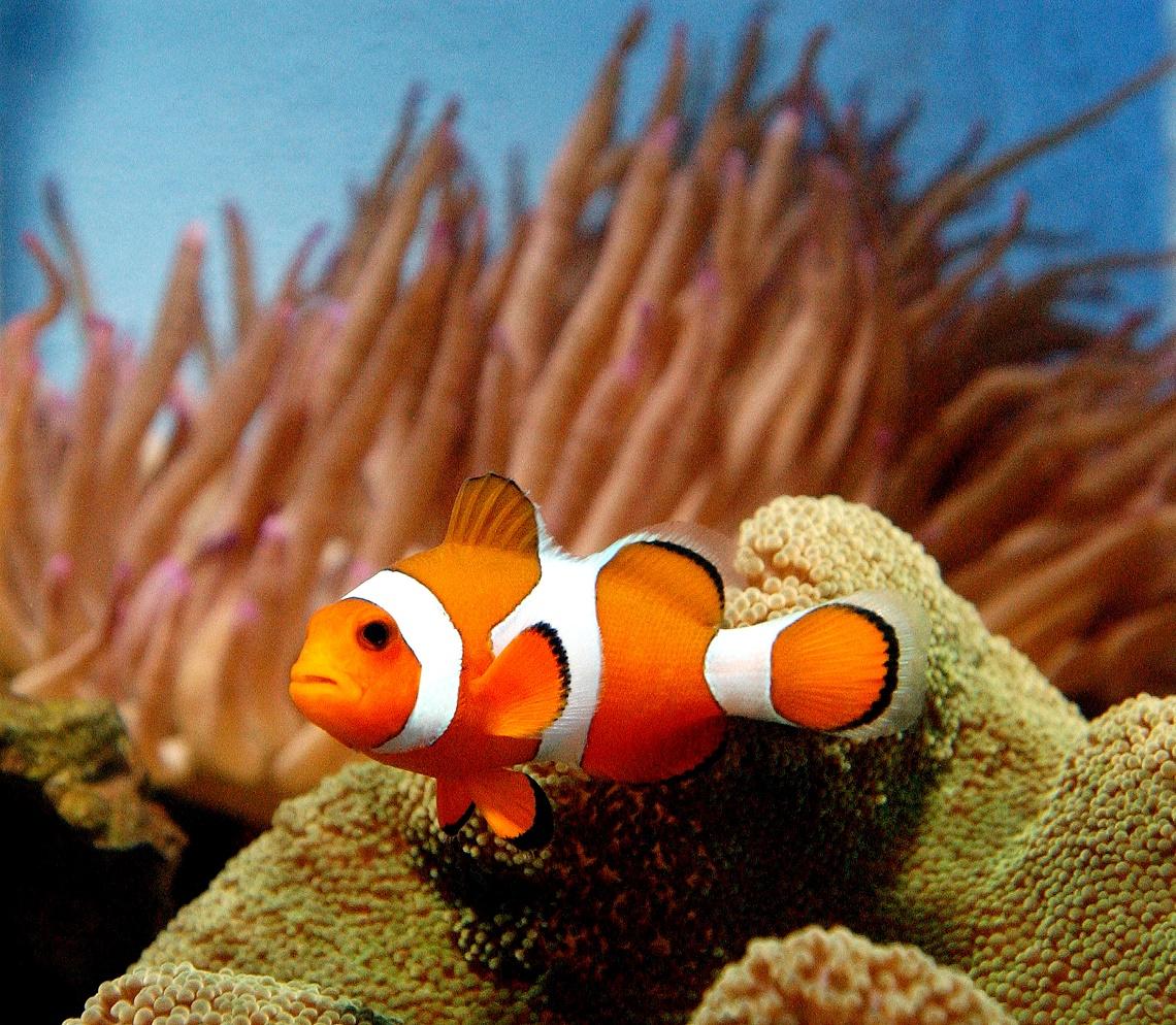 Il sorprendente istinto paterno del pesce pagliaccio for Pesce pagliaccio foto