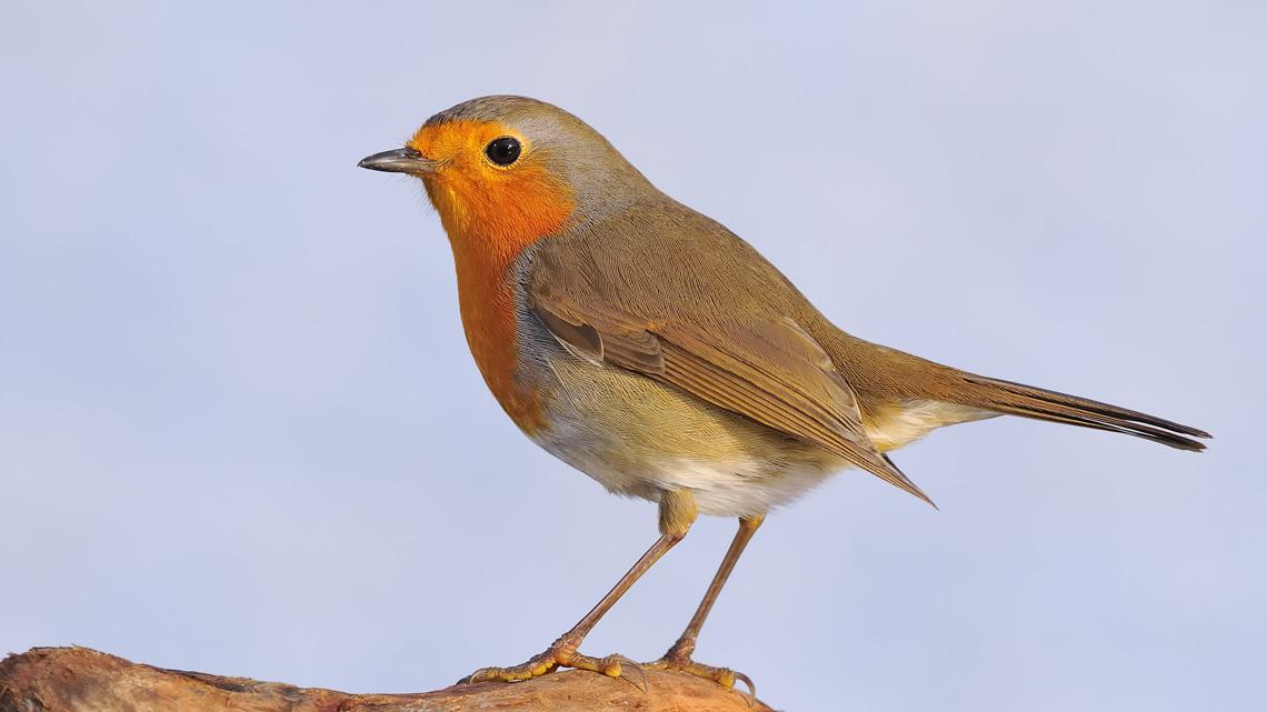 Uccellini. Un pettirosso per amico | LifeGate