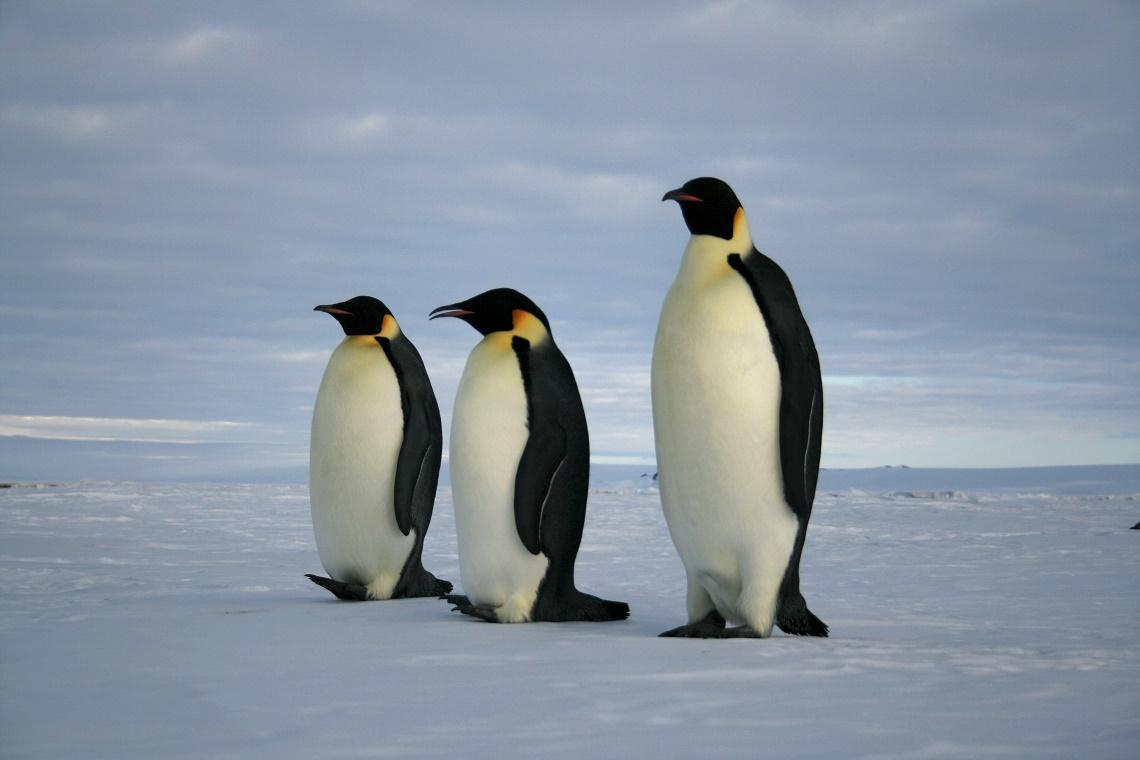 Célèbre Il pinguino imperatore è in pericolo: si sciolgono i ghiacci  RO07