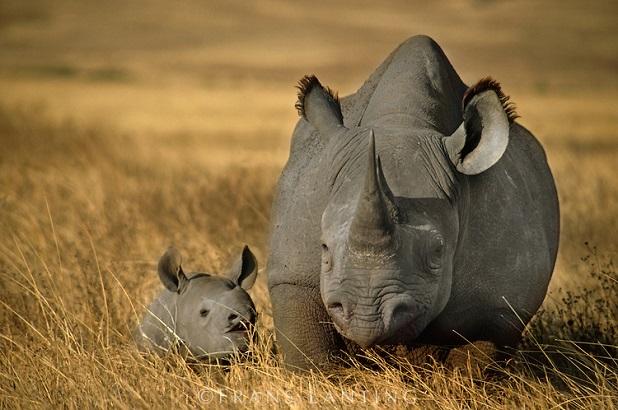 rinoceronte nero con cucciolo