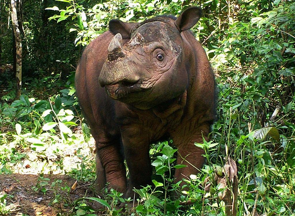 Rinoceronte di Sumatra di Sabah