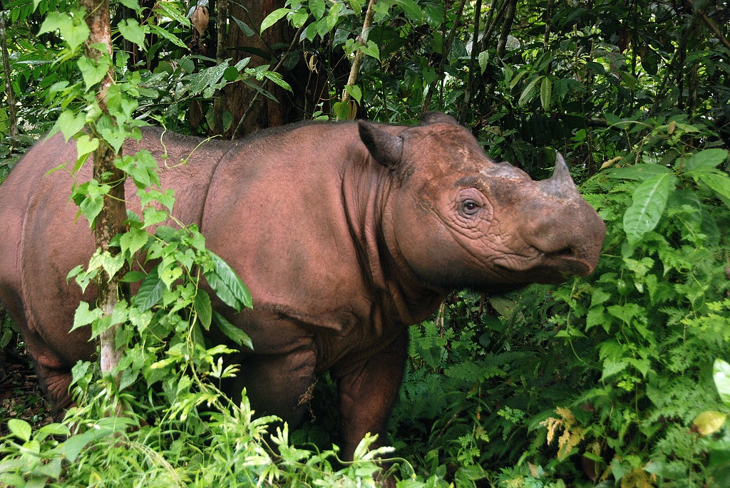 INDONESIA-SPECIES-CONSERVATION-RHINO-US