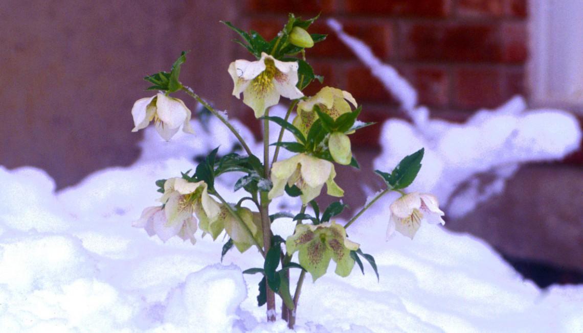 10 piante resistenti al freddo che fioriscono in inverno - Immagini di giardini di villette ...