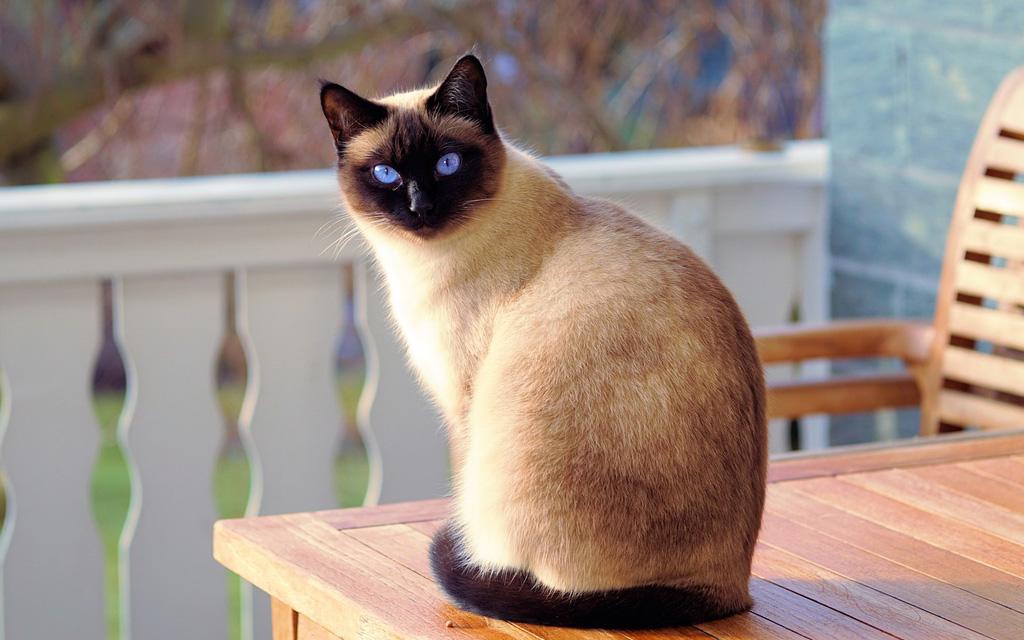 gatto siamese carattere caratteristiche