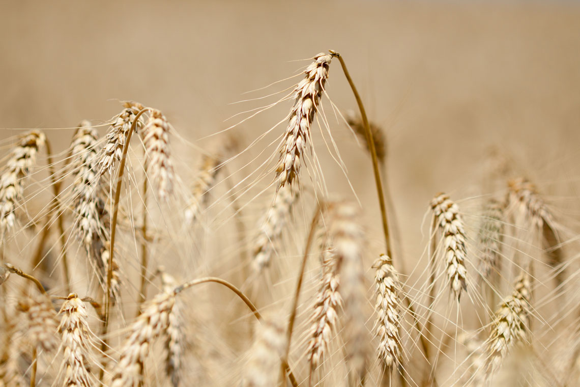 Cereali tutto quello che c 39 da sapere su tipi e propriet for Da dove proviene il grano della barilla