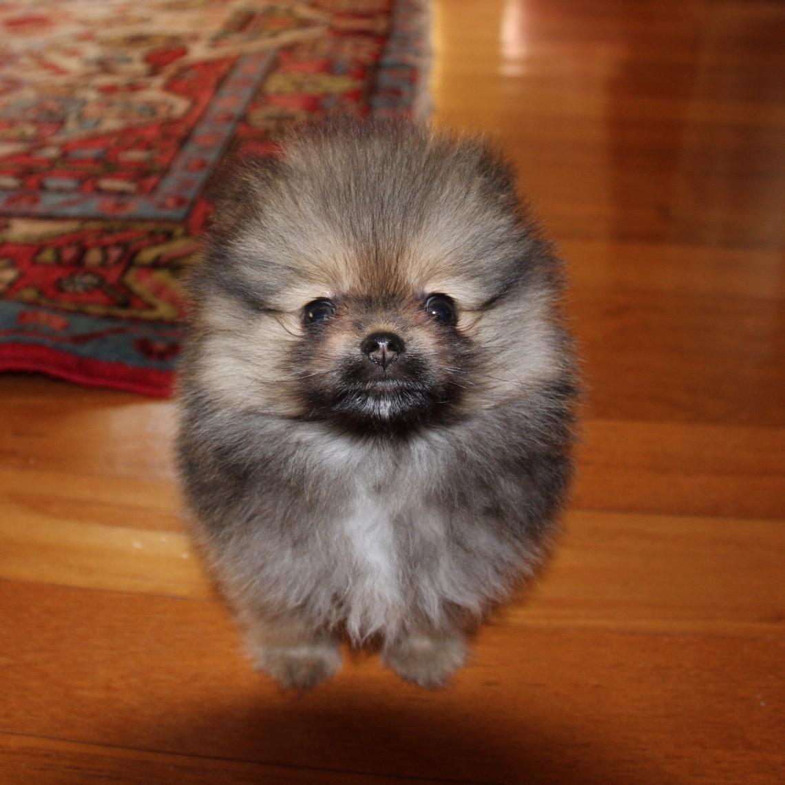 volpino di pomerania caratteristiche del mini cane