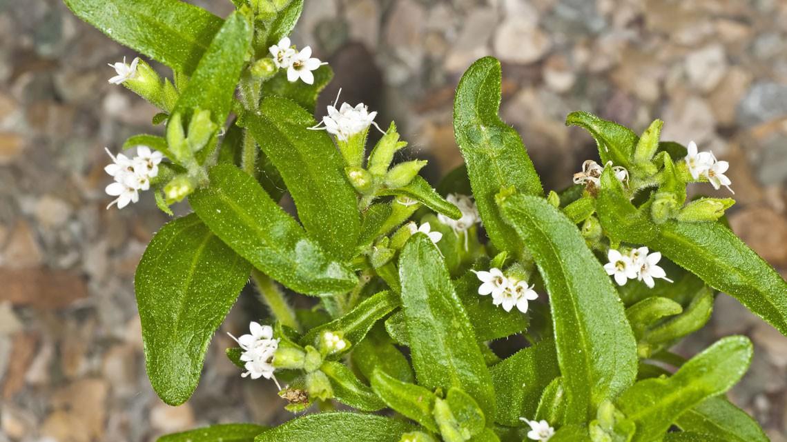 Stevia che cos 39 e come si coltiva lifegate for Cabina dell orso dello zucchero