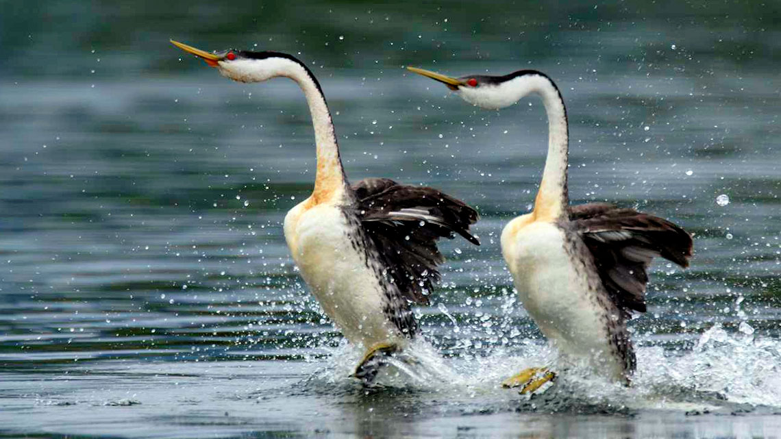 Etologia del corteggiamento l 39 amore nel regno degli uccelli - Primavera uccelli primavera colorazione pagine ...