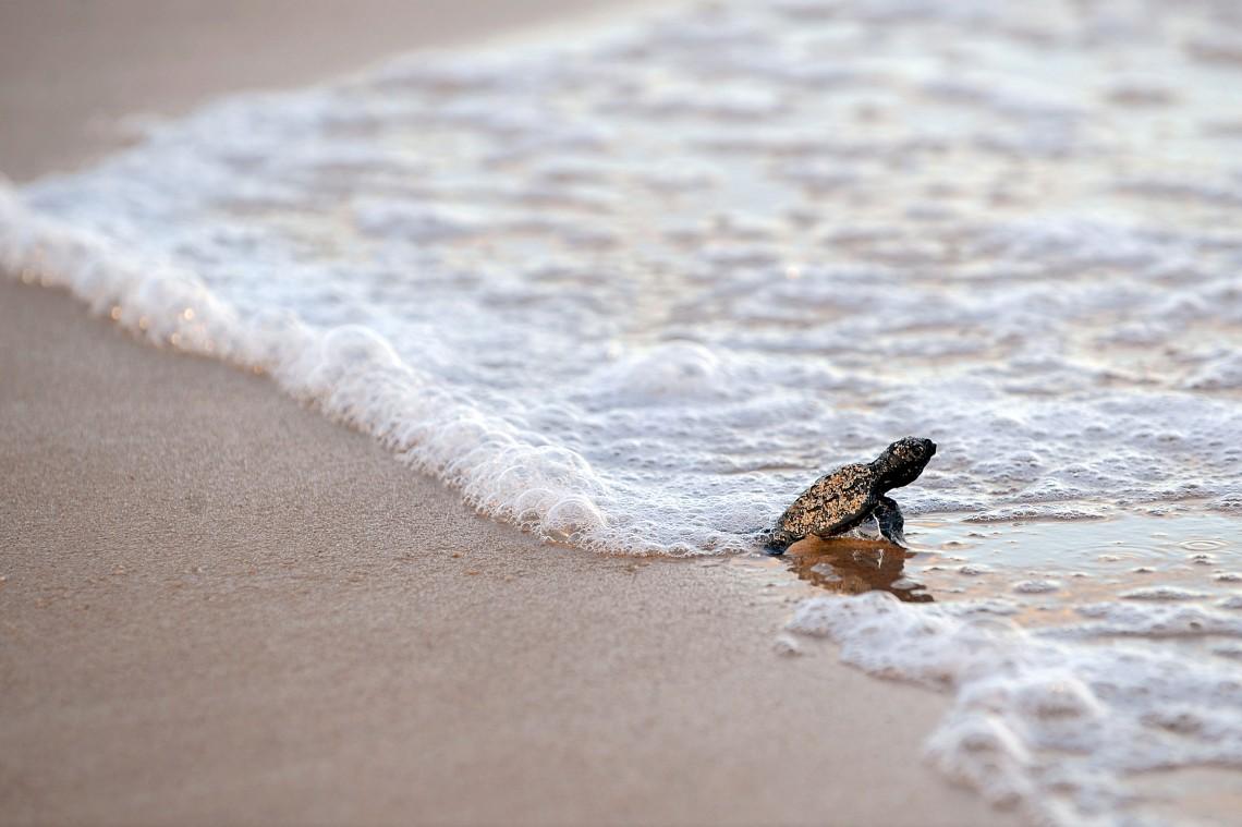 Le tartarughe caretta caretta tornano a nidificare sulle for Tartarughe appena nate