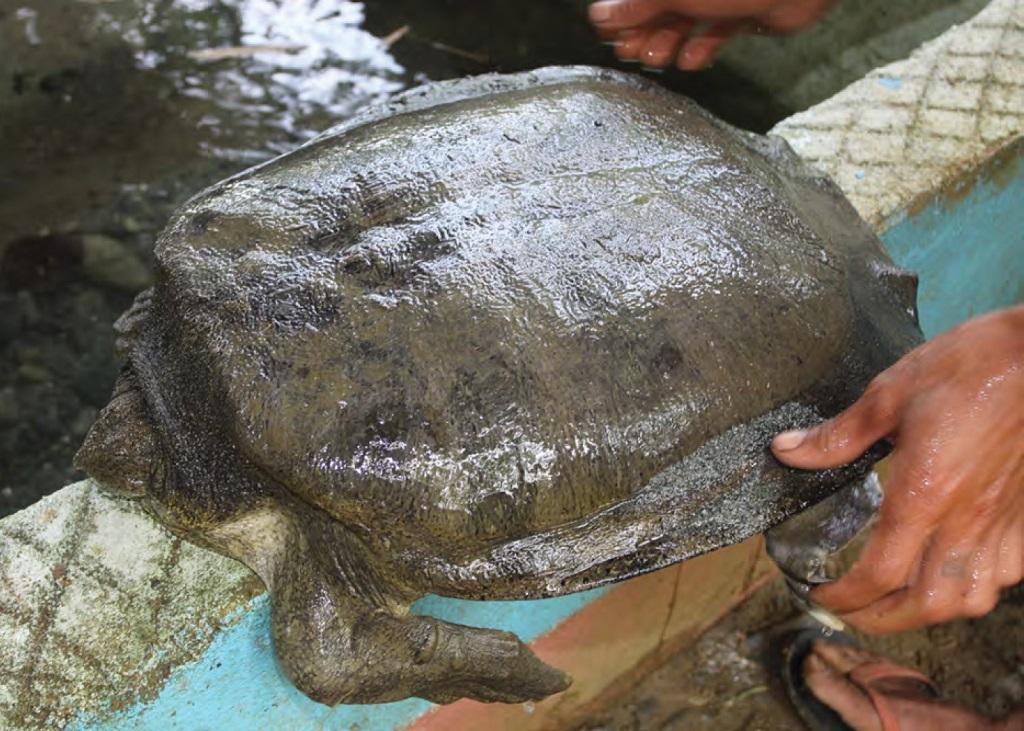 tartaruga guscio molle in asia