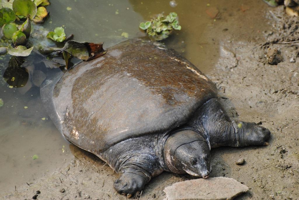 Tartaruga Dal Guscio Molle.Tartaruga In Via Di Estinzione Torna In Liberta Anziche Finire In