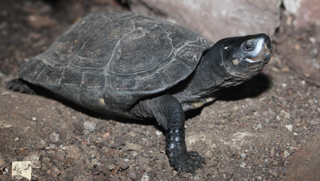 Un parassita chiamato obama lifegate for Tartaruga di palude