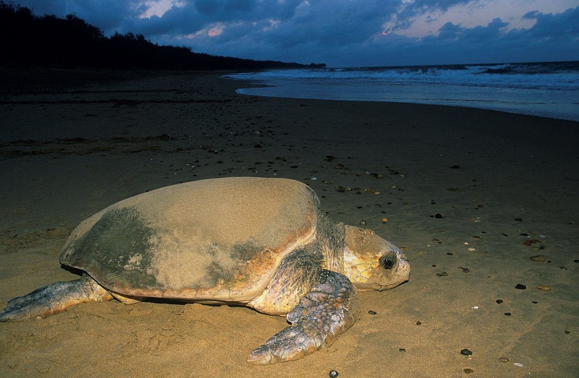 C ancora speranza per le tartarughe marine lifegate for Tartarughe grandi