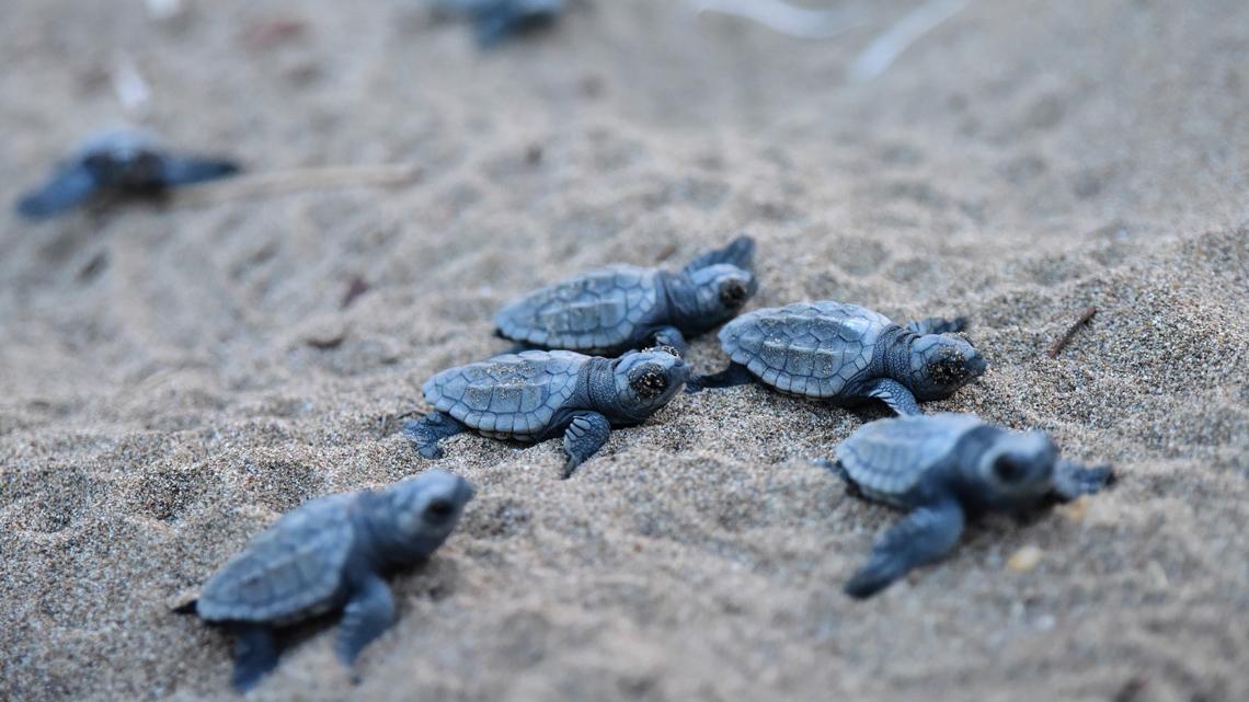 Proteggiamo le tartarughe marine anche nelle acque for Tartarughe appena nate