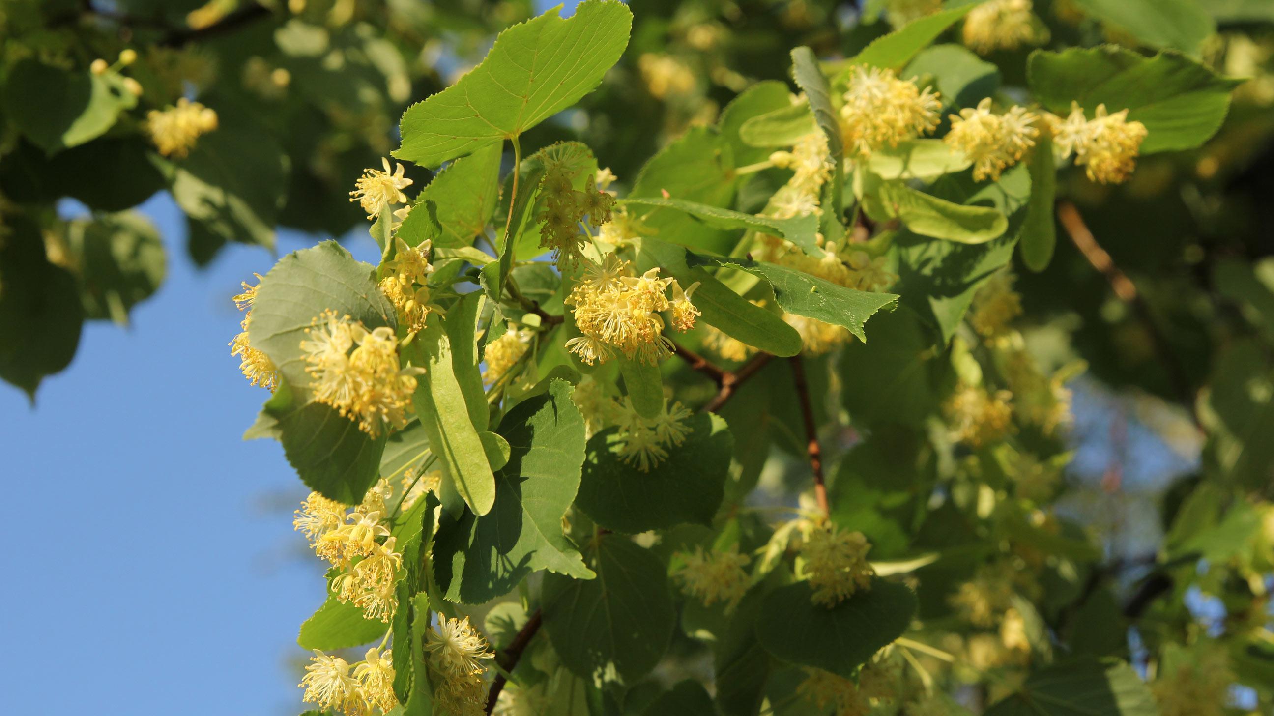 Tiglio usi benefici e propriet terapeutiche lifegate for Tiglio albero