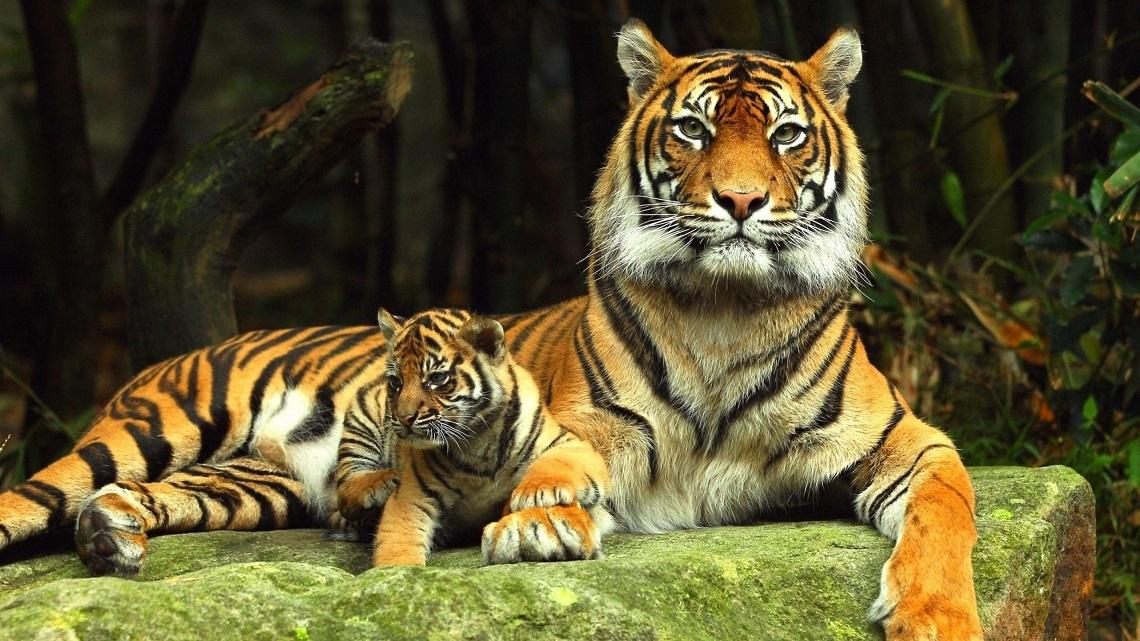 La popolazione di tigri in crescita non accadeva da for Disegni delle tigri