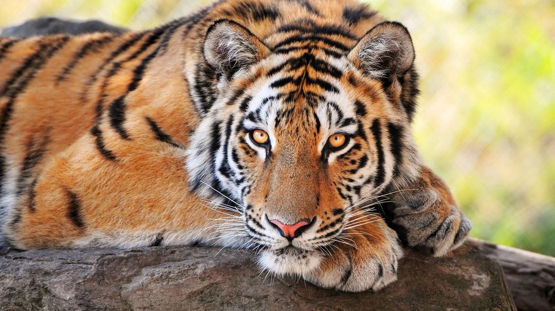 Il 29 luglio la giornata mondiale della tigre lifegate for La piattaforma del secondo piano progetta le immagini