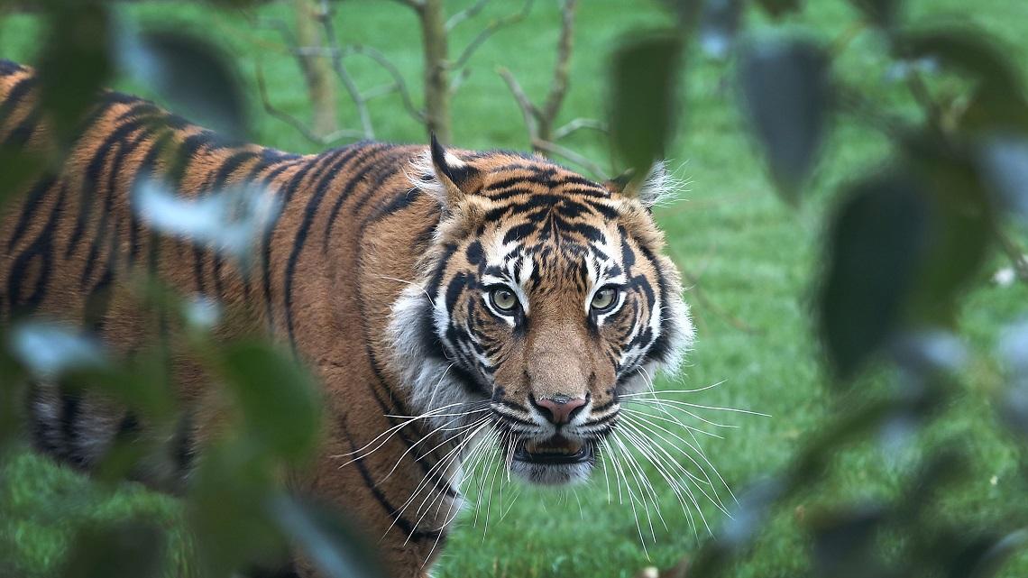 thailandia scoperta una nuova popolazione di rare tigri