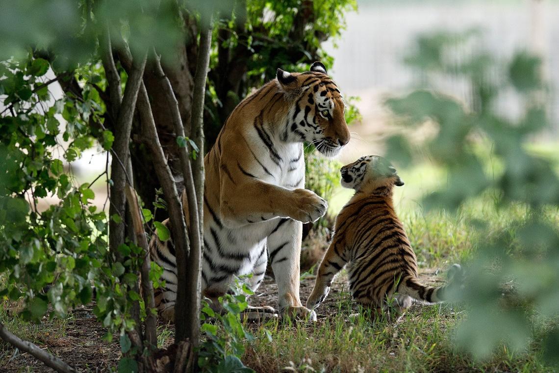 Il ruggito felice delle tigri siberiane la popolazione for Disegni delle tigri