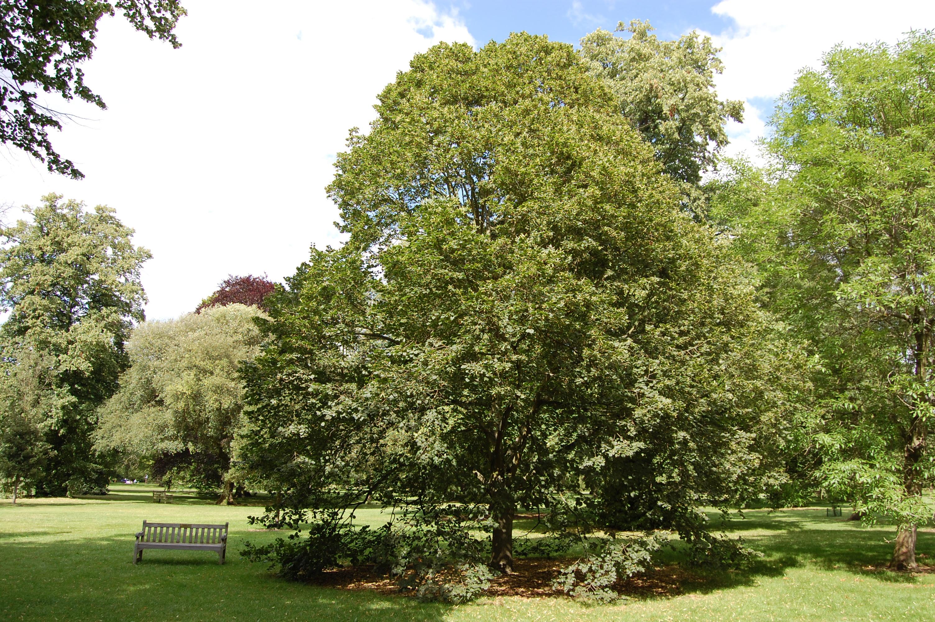 Quali alberi piantare in citt per cambiarne il volto e l 39 aria for Tiglio albero