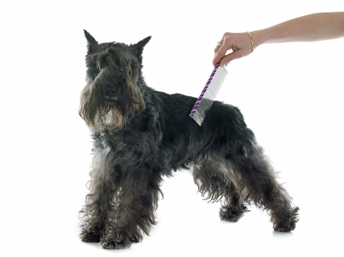 grooming of miniature schnauzer in front of white background