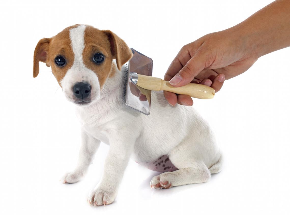 La corretta toelettatura del cane indispensabile perch for Jack russel pelo lungo