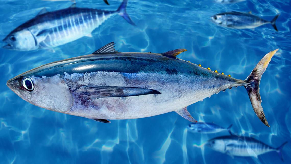 Torna rompiscatole la classifica di greenpeace sulla sostenibilit del tonno in scatola lifegate - Marinare il tonno prima di cucinarlo ...