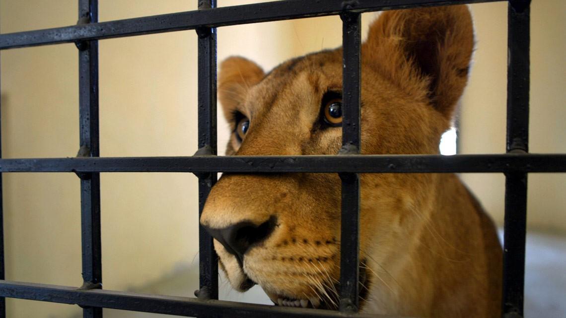Il Sudafrica vieta l'allevamento di leoni per la caccia e il turismo