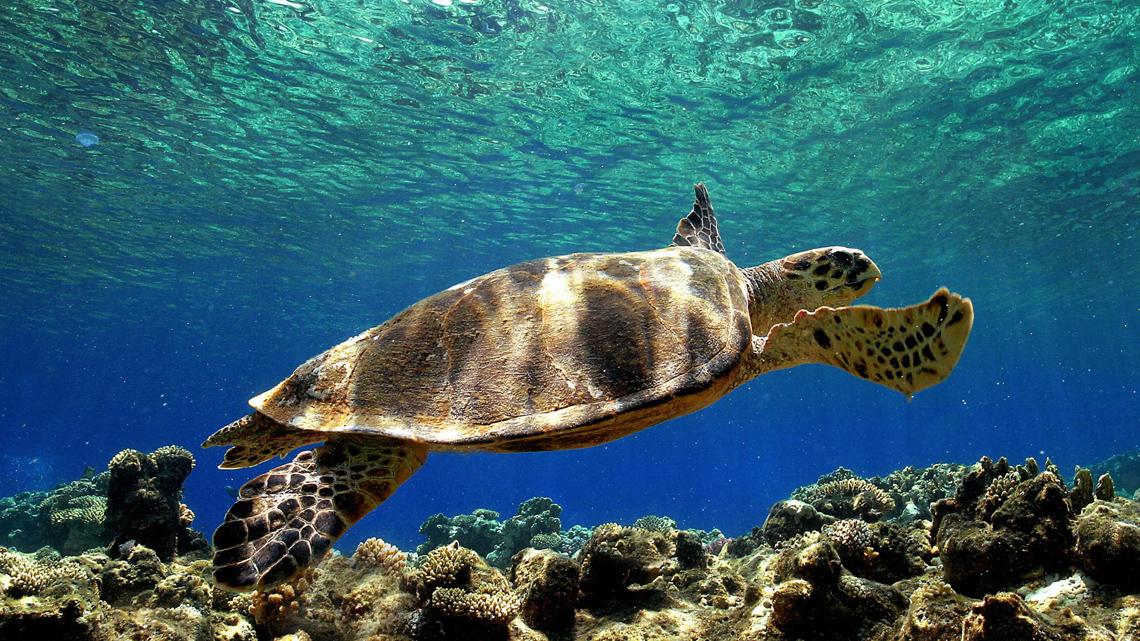 Le tartarughe caretta caretta tornano a nidificare sulle for Tartaruga da acquario