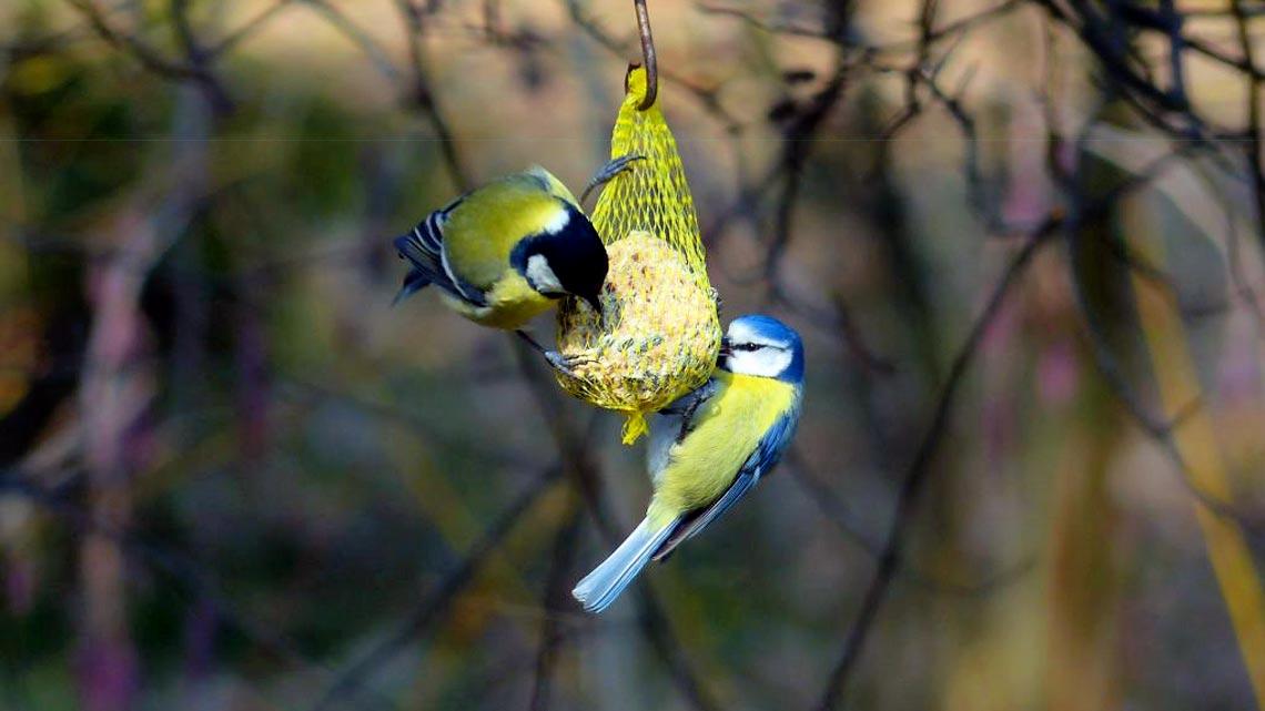 Trasformiamo Giardini E Terrazze In Oasi Per Gli Uccelli. La Ricetta Per Le  Palle Di