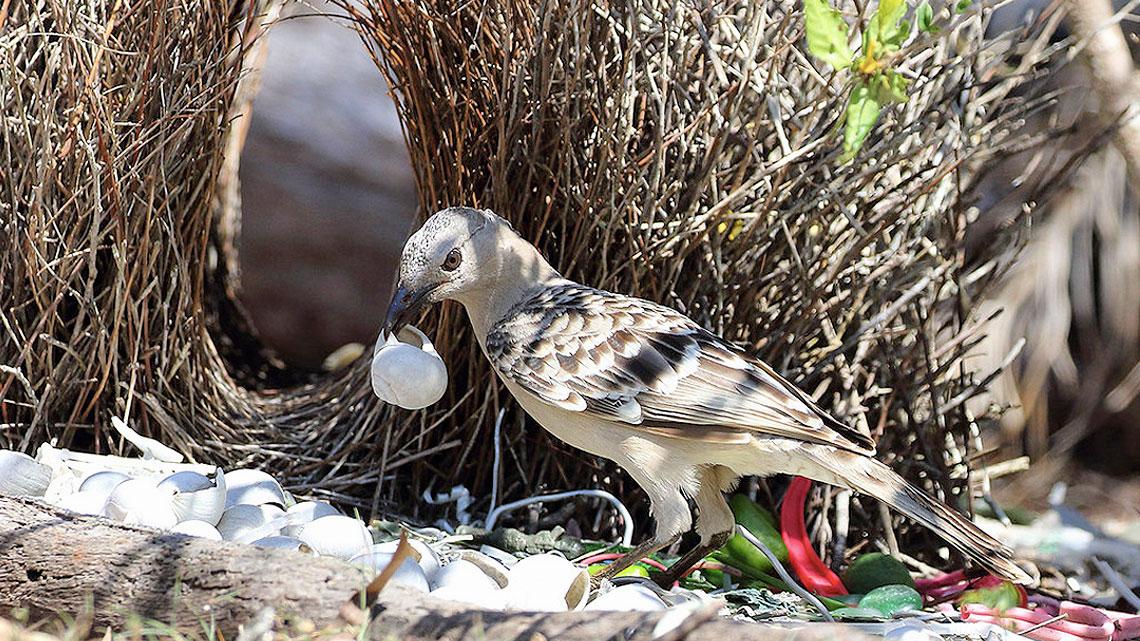 Etologia del corteggiamento l 39 amore nel regno degli uccelli for Immagini giardiniere