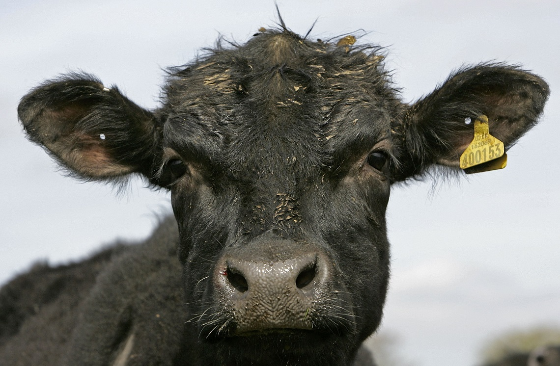 Primo piano di un vitello